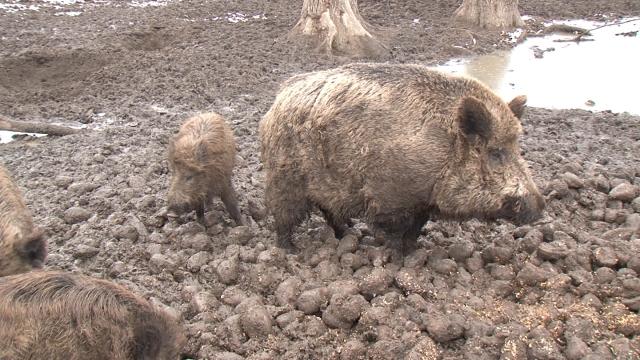 Mimoriadne opatrenia kvôli africkému moru ošípaných v skalickom okrese